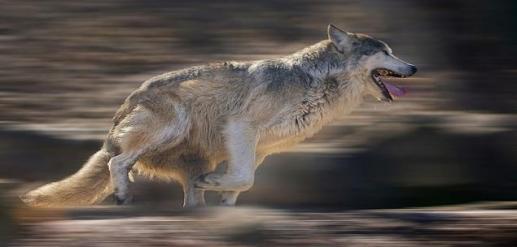 wolverun